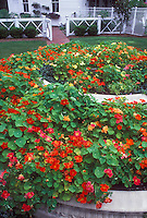 heirloom and old-fashioned Tropaeoleum majus annual nasturtiums in bloom in tiered circular garden bed near house and fence