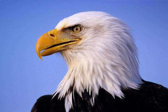 USA, ALASKA, HOMER SPIT, BALD EAGLE PORTRAIT, CLOSE UP