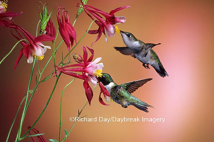 01162-070.17 Ruby-throated Hummingbirds (Archilochus colubris) male & female on Crimson Star Columbine (Aquilegia x hybrida) IL