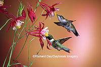 01162-070.17 Ruby-throated Hummingbirds (Archilochus colubris) male & female on Crimson Star Columbine (Aquilegia x hybrida) IL