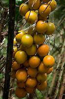 Nome científico: Astrocaryum.<br /> <br /> O tucumãi é espécie nativa do norte da América do Sul, possivelmente do Pará, onde tem seu centro de dispersão. Distribuído até a Guiana Francesa e Suriname.<br /> <br /> Fruto do tucumanzeiro, palmeira que chega a alcançar 10m de altura.<br /> <br /> Essa palmeira produz cachos com numerosos frutos de formato ovóide, casca amarelo-esverdeada e polpa fibrosa, amarela, oleaginosa característica, que reveste o caroço.<br /> Pará, Brasil.<br /> Foto Elielson Silva<br /> 2014