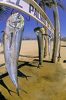 Mahi mahi, dorado or dolphinfish, Coryphaena hippurus, Palmas De Cortez, Mexico (Sea of Cortez)