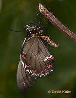 1021-0803  Polydamas swallowtail (Life Cycle Series), Battus polydamus  © David Kuhn/Dwight Kuhn Photography.