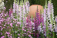 Foxglove 'Camelot Mix' (Digitalis) biennial flowers in garden with urn