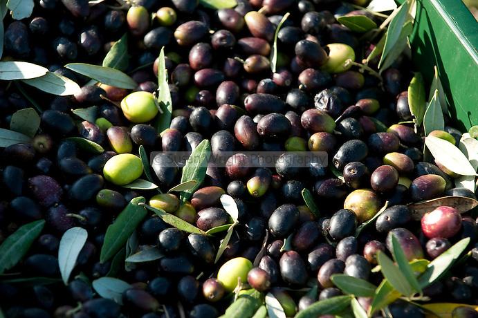Olive harvest in Abruzzo, Italy