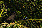 Common Black-hawk (Buteogallus anthracinus), Tortuguero National Park, Costa Rica