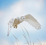 Snowy Owls for Fire Island and Beyond