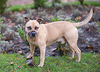 Male Staffordshire Bull Terrier, Lancashire.