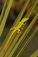 Green Anole (Anolis carolinensis), adult on palm frond, Fennessey Ranch, Refugio, Coastal Bend, Texas Coast, USA