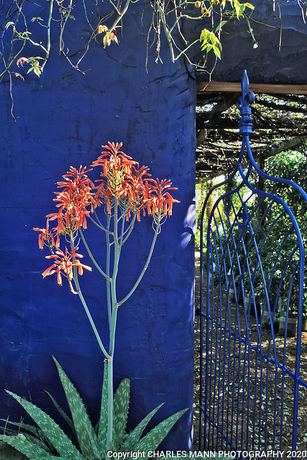 A blooming aloe and an iron gate at the entrance to the blue walled demonstration garden created by Mike Shoup at his Antique Rose Emporium in San Antonio
