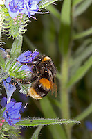 Buff-tailed Bumblebee - Bombus terrestris, on Viper's Buglos.