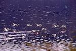 Lesser flamingos at Lake Bogoria