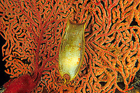 egg capsule of blotchy swell shark, draughtsboard shark, Cephaloscyllium umbratile, Futo, Sagami bay, Izu peninsula, Shizuoka, Japan, Pacific Ocean