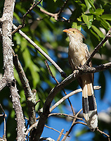 The punk rock-styled Guira cuckoo was seen both in the Amazon and the Pantanal during this trip.