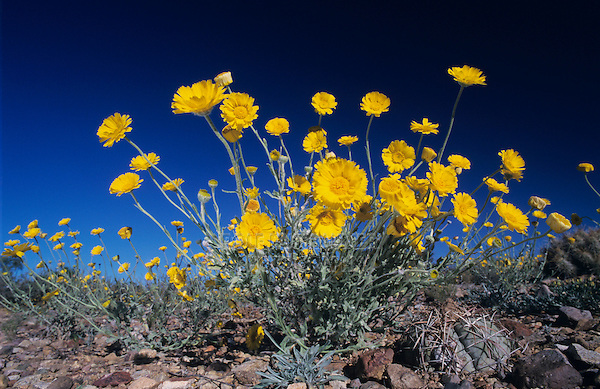 Desert Marigold, Baileya multiradiata, blossom, Big Bend National Park, Texas, USA