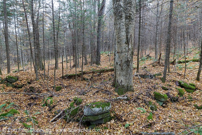 A birch tree growing in a cellar hole along the old North and South Road (now Long Pond Road) in Benton, New Hampshire. Based on an 1860 historical map of Grafton County this was possibly the homestead of Orrin Marston.