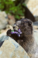Hoary Marmot (Marmota caligata) eating lupine flower.
