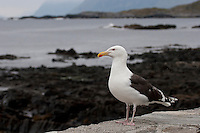 Mantelmöwe, Mantel-Möwe, Möwe, Mantelmöve, Larus marinus, Great Black-backed Gull, Goéland marin
