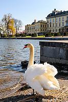 Sweden, Ekerö. Mute Swan in front of the Drottningholm Palace (Drottningholms slott).