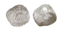 Saddle Oyster - Anomia ephippium