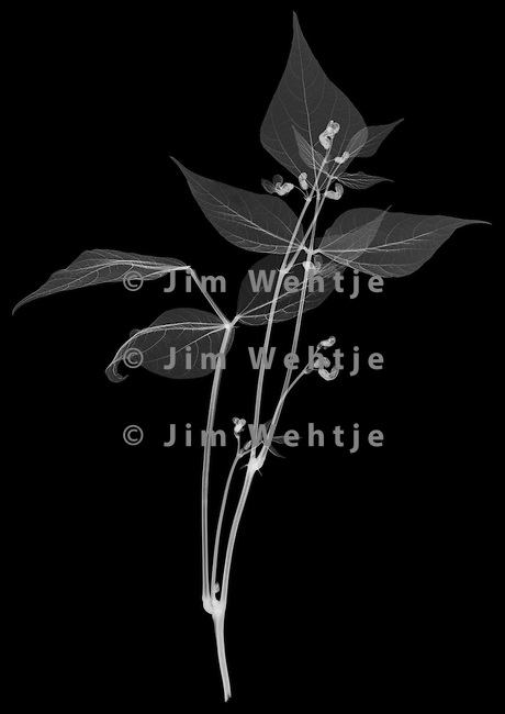 X-ray image of a green bean plant (white on black) by Jim Wehtje, specialist in x-ray art and design images.