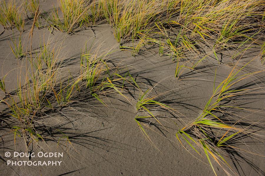 Dune Grass