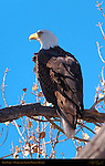 Bald Eagle, Bosque del Apache Wildlife Refuge, New Mexico