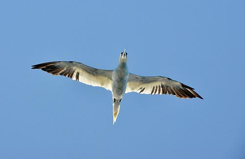 Gannet - Morus bassanus
