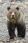 Grizzly bear. Grand Teton National Park, Wyoming.
