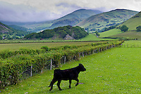 Welsh black cow in valley meadow at Llanfihangel, Snowdonia, Gwynedd, Wales