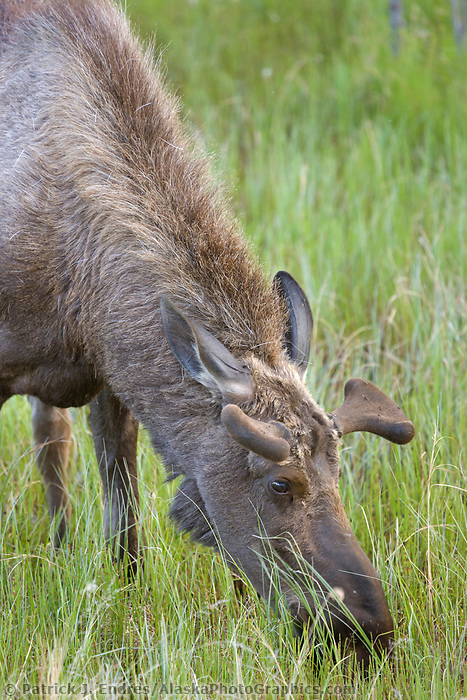 Young bull moose feeds on fresh spring grass, Interior, Alaska.