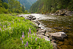 Idaho, North Central, Clearwater County.  Lupines on the shore of Kelly Creek in the Clearwater National Forest. Kelly Creek is a blue ribbon trout fishery designated as catch and release only popular with fly fishermen.