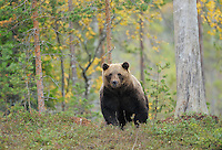 Eurasian brown bear, Ursus arctos in Kuhmo, Finland.