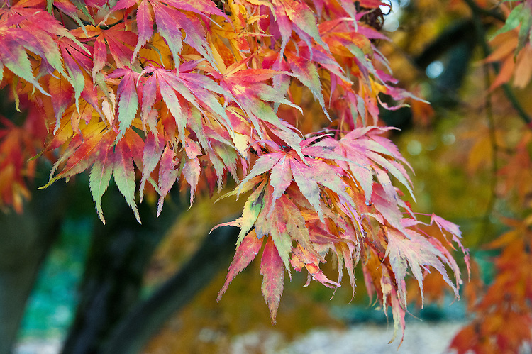 Autumn foliage of Acer palmatum var. heptalobum, early November.