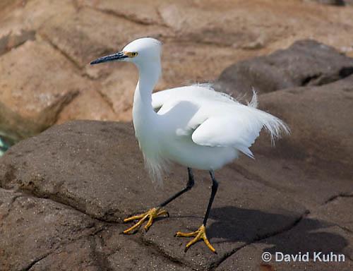 1129-1001  Snowy Egret, Egretta thula  © David Kuhn/Dwight Kuhn Photography