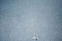 A pair of tundra swans float on Lake Suwa in heavy snow, winter 2014