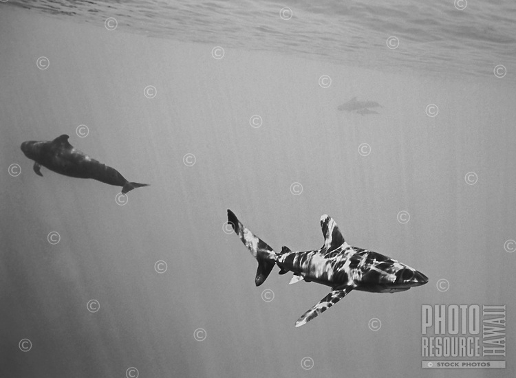 Oceanic Whitetip Shark and Pilot Whales, Big Island of Hawaii