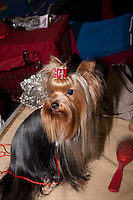 Mini Yorkshire terrier, with a red bow in it's top knot, and a red hair brush lying next to it. Waiting for the show ring on the international dog show in Prague may 2014.