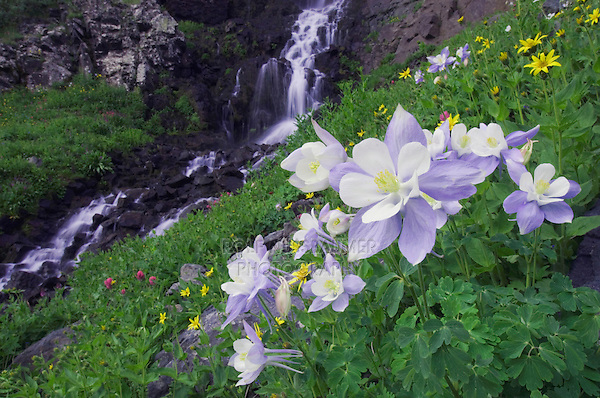 Waterfall and wildflowers in alpine meadow,Blue Columbine,Colorado Columbine,Aquilegia coerulea, Ouray, San Juan Mountains, Rocky Mountains, Colorado, USA
