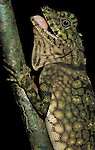 Comb Crested Agamid, Gonocephalus liogaster, Sabah, Borneo, on tree, showing colour changes, mouth open, .Borneo....