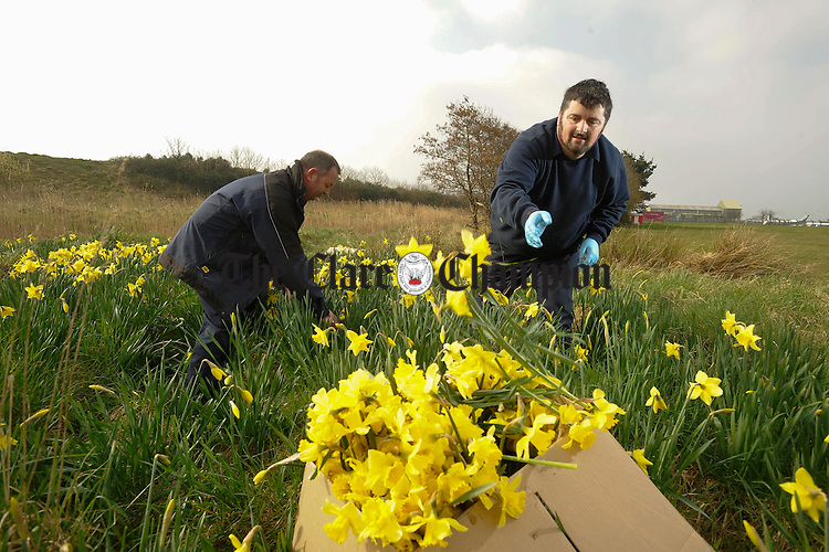 John Hickey and Declan Cullinan collecting fresh wild daffodils on Daffodil Day for the Clare Castle and District Daycare Centre. Photograph by John Kelly.
