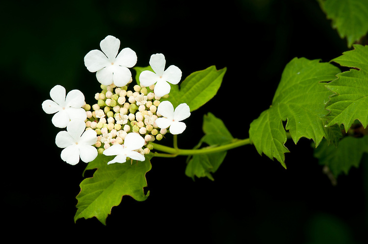 Guelder Rose, Viburnum opulus, flowering in traditional hay meadow. Clattinger Farm, Wiltshire. UK. . This habitat has been reduced by 98% in the UK since the Second World War. This is largely due to the intensification of farming practices.