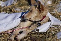 Lesley Monk's Dog Missy Rests at McGrath