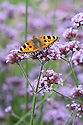 Small tortoiseshell butterfly on Verbena bonariensis, late August.