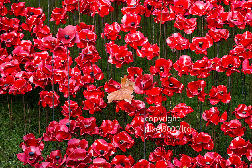 Pic shows: Huge crowds again today at the Blood Swept Lands and Seas of Red<br /> Poppy installation at the Tower of London with just days to  go before it is due to be removed.<br /> <br /> autumn leaf falls on the poppies<br /> <br /> <br /> <br /> Pic by Gavin Rodgers/Pixel 8000 Ltd
