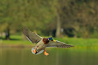 Mallard Duck drake (Anas platyrhynchos) about to land on pond.  Pacific Northwest.  Spring.