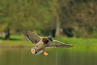 Mallard Duck drake (Anas platyrhynchos) about to land on pond.  Pacific Northwest.  Spring.