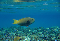 Parrot Fish, Scaridae, adult swimming, Sharm El Sheik, Red Sea, Egypt, Oktober 1997