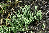Alpine Clubmoss - Diphasiastrum alpinum