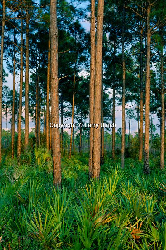 Saw-palmetto and slash pines<br /> Everglades National Park<br /> The Everglades<br /> Florida